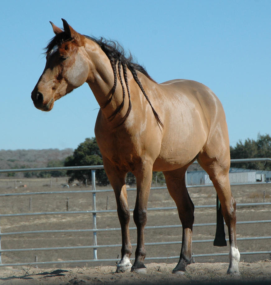Stock Horse by Equine-Resource