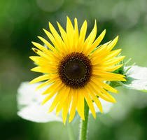 Sunflower.. by jus4taday
