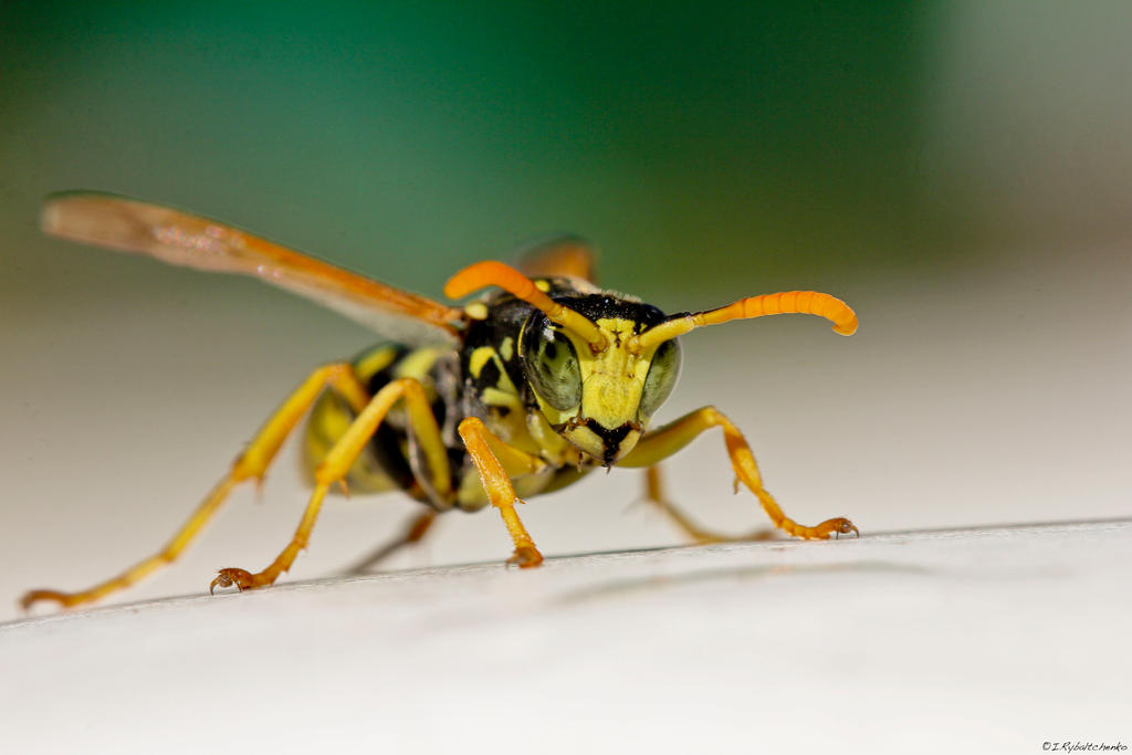 WASP by IgorRybaltchenko