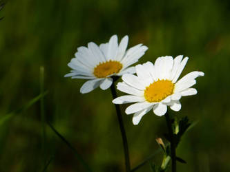 Two daisies by StarryJerry66