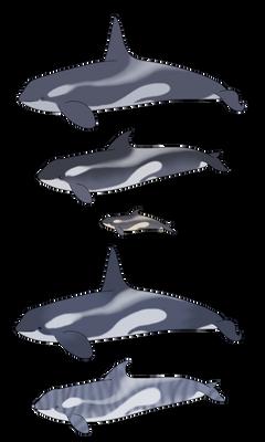 Open Species - Blue Orca