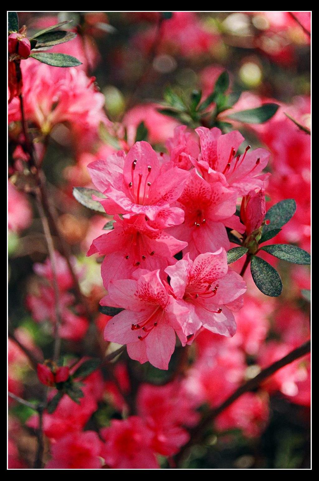 Pink Azalea by nghtfall