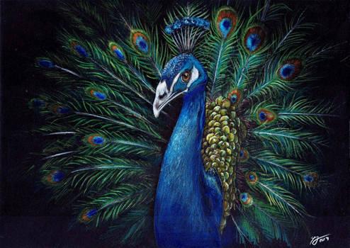 Beautiful Wildlife: Peacock