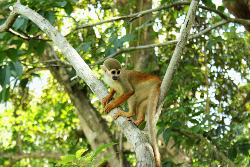 squirrel monkey Amazonas by Elessar91