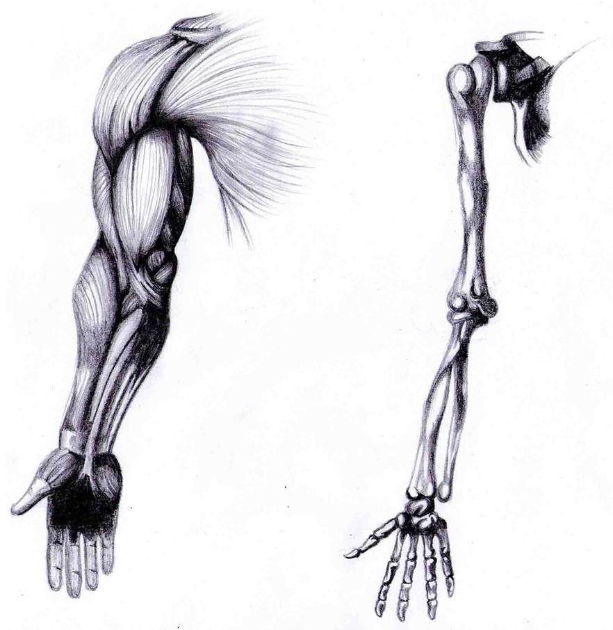 Arm Anatomy Study by Bleedingheartsyndrom on DeviantArt