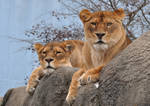 The Glares of the Lionesses