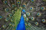 Peacock.1.