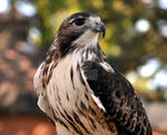 Red Tailed Hawk.1.