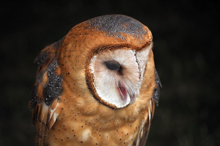 Barn Owl by HecklingHyena