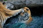 Amur Tiger.5.