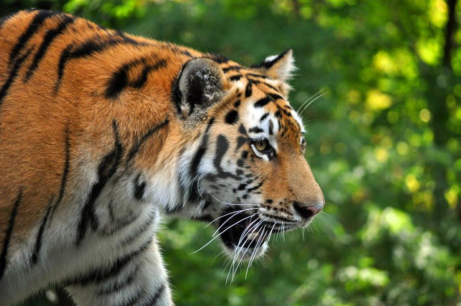 Amur Tiger.6. by HecklingHyena