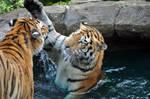 Amur Tiger.11.