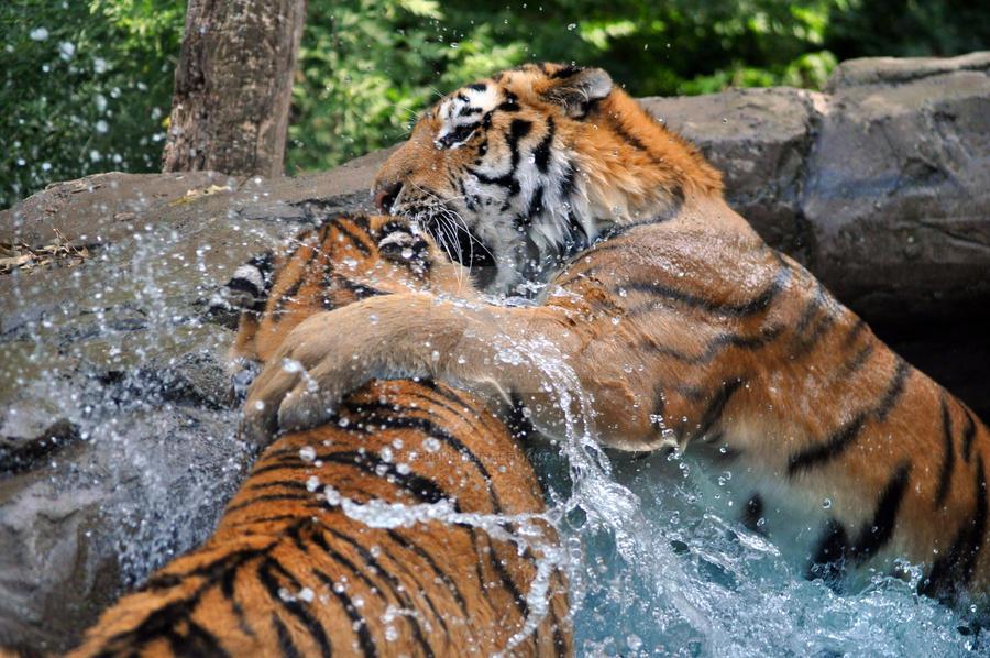 Amur Tiger.12. by HecklingHyena