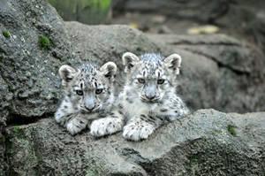 Snow Leopard.1.