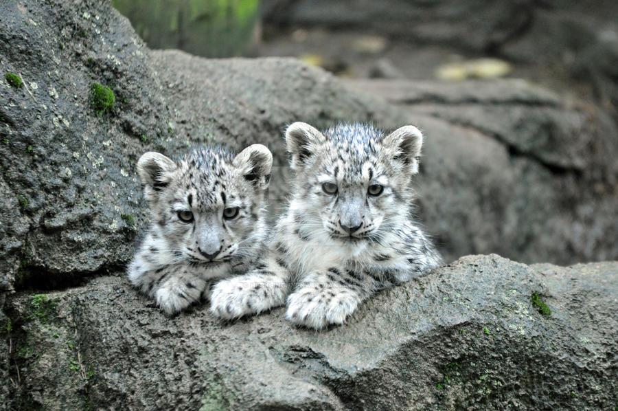Snow Leopard.1. by HecklingHyena
