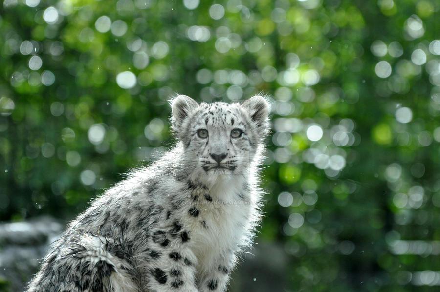 Snow Leopard.2. by HecklingHyena