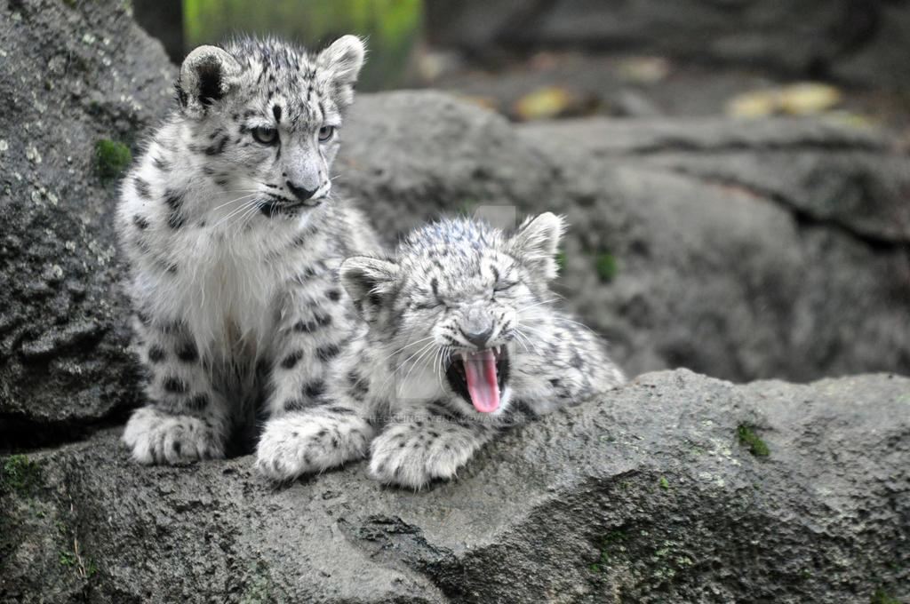 Snow Leopard.5. by HecklingHyena