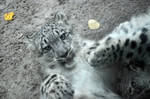 Snow Leopard.10.
