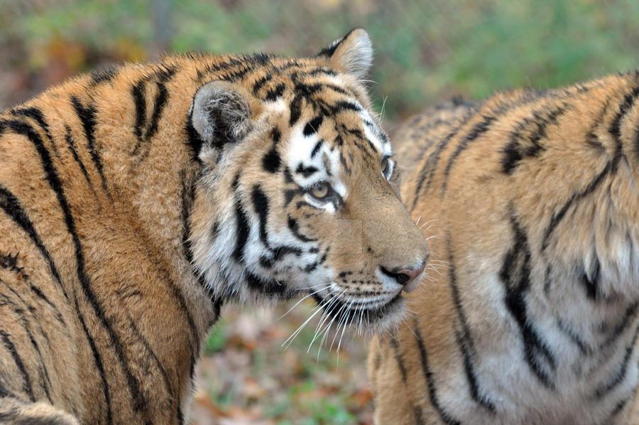 Amur Tiger.16. by HecklingHyena