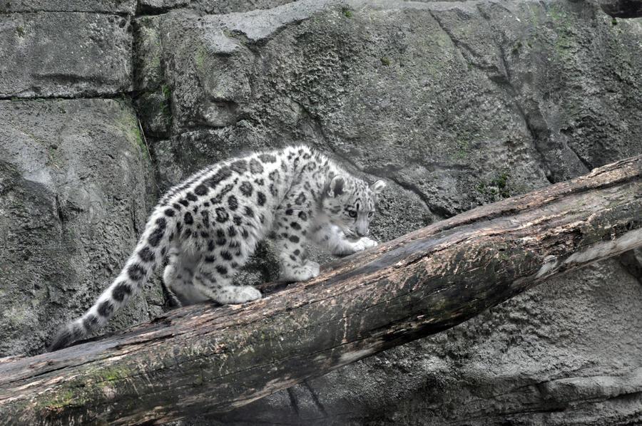 Snow Leopard.13. by HecklingHyena
