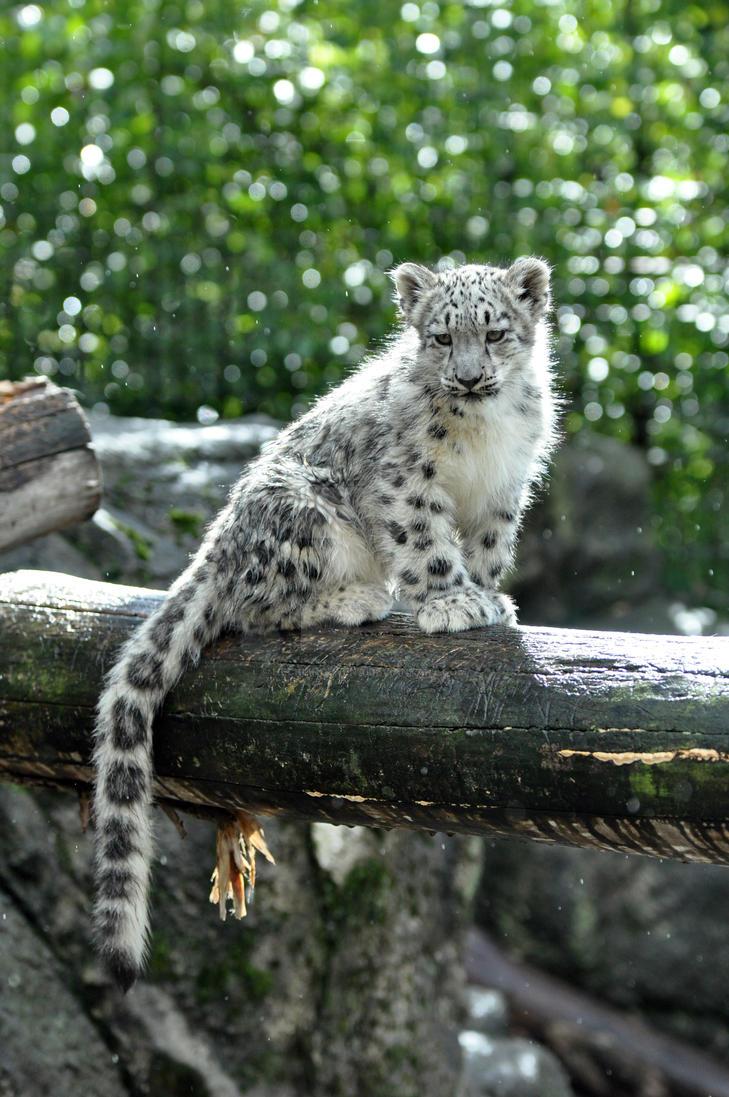 Snow Leopard.14. by HecklingHyena