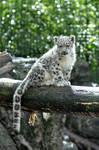 Snow Leopard.14.