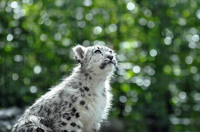 Snow Leopard.15. by HecklingHyena