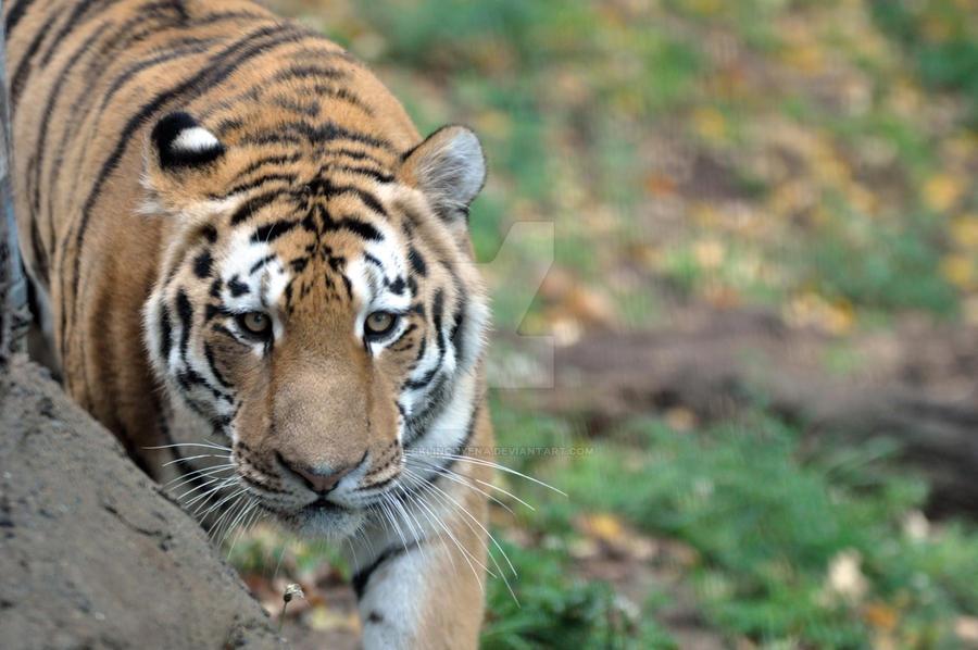 Amur Tiger.17. by HecklingHyena