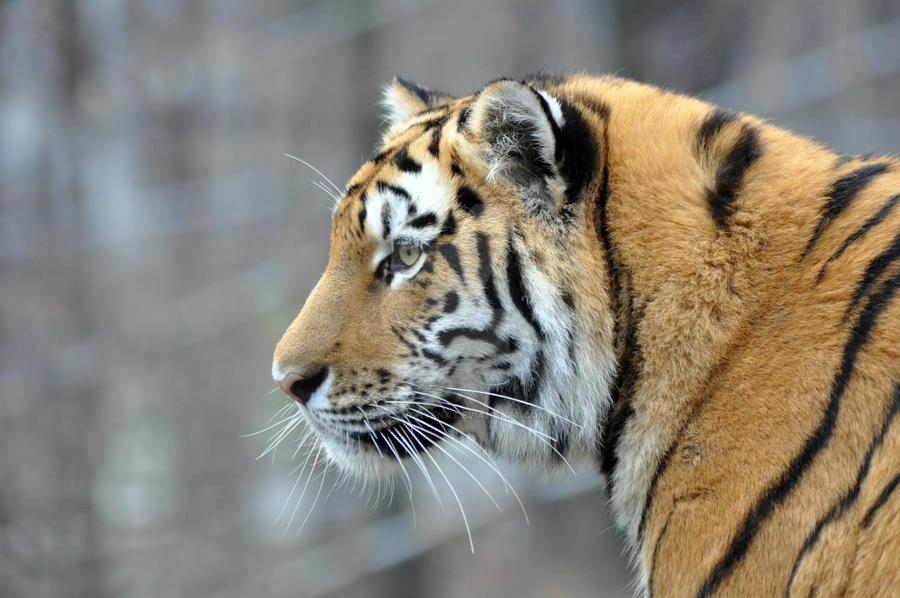Amur Tiger.20. by HecklingHyena