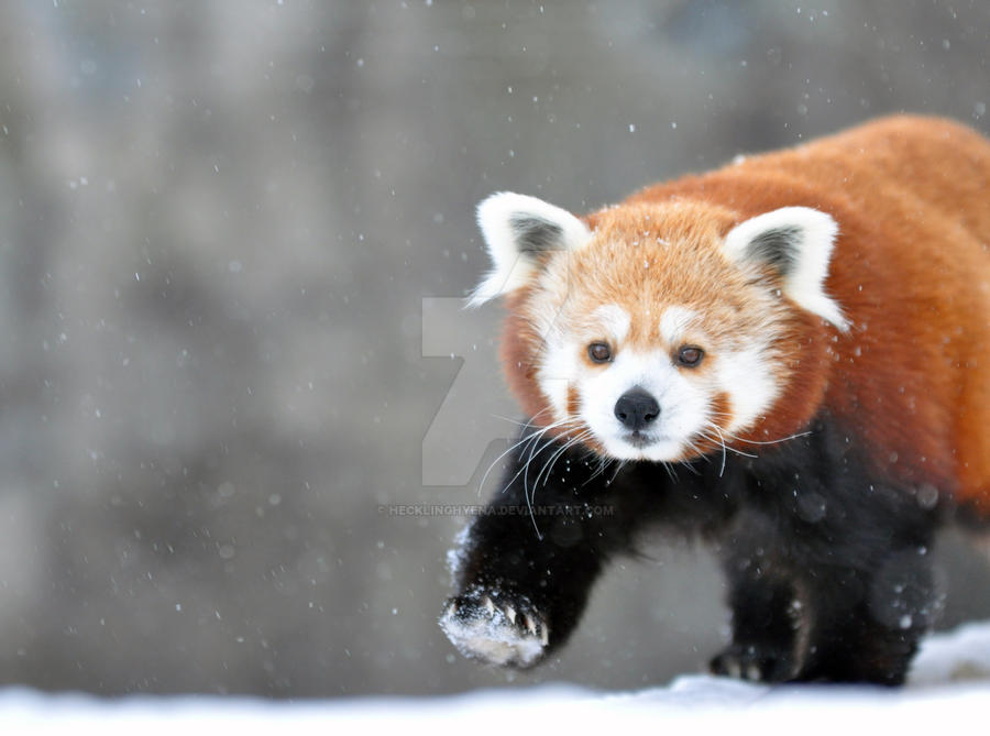Red Panda.1. by HecklingHyena