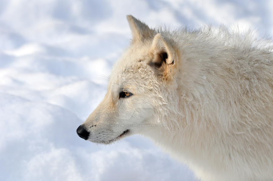 Gray Wolf.4. by HecklingHyena