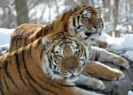 Amur Tiger.22.