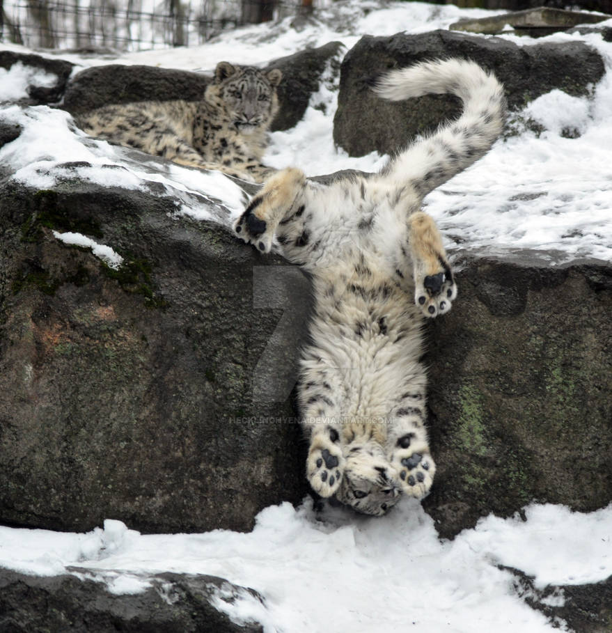 Snow Leopard.23. by HecklingHyena