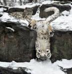 Snow Leopard.23.