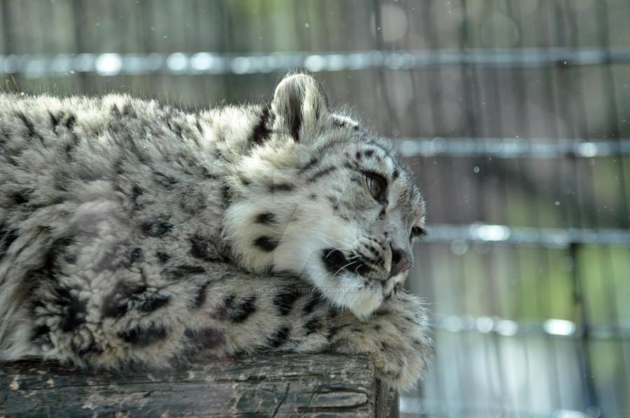 Snow Leopard.25. by HecklingHyena
