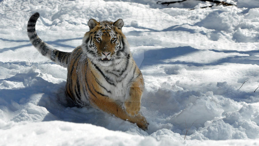 Amur Tiger.24. by HecklingHyena