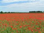 Poppy Fields 2