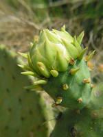 Prickly Pear Bud by StewartSteve