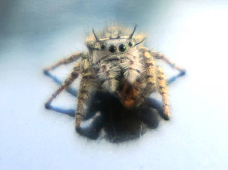 Two Tone Spider Eyes
