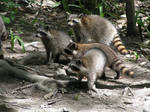 Racoons on the Mississippi