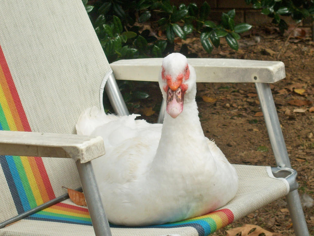 duck stealing gif