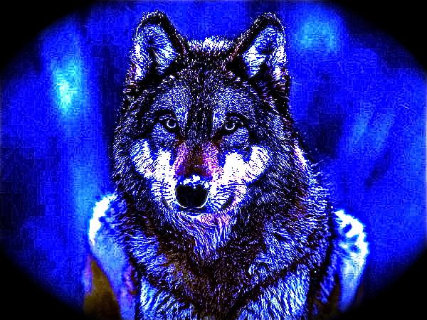 pretty wolf by icejcat on deviantart