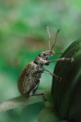 Relax - Phyllobius urticae