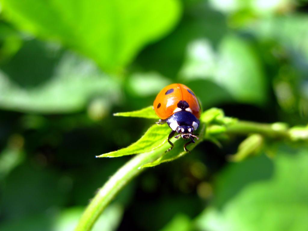 Ladybug by Dina30918
