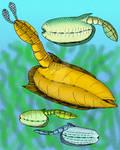 Vetulicola species v1