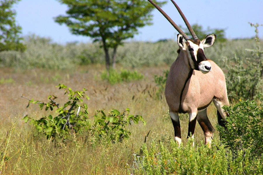 Gemsbok - Namibia by kyleusher