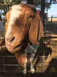 Goat #2 by Scarletcat1