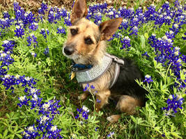 Herbie's First Bluebonnet Picture