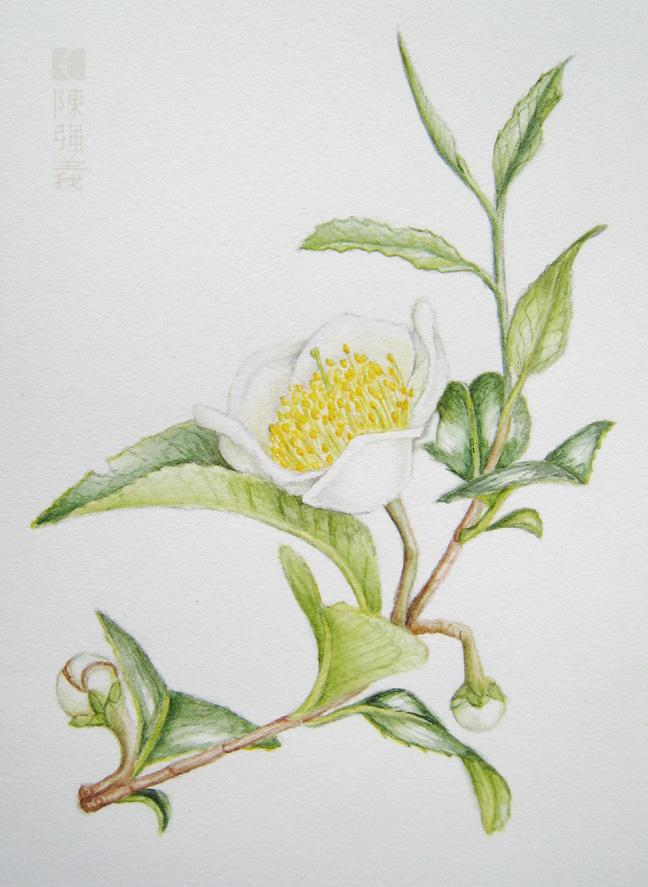Camellia sinensis by cambium