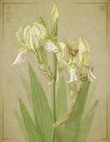 Bearded Iris by cambium